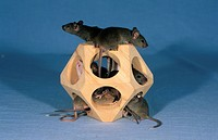 Domestic Mouse Mus musculus Group in wooden toy