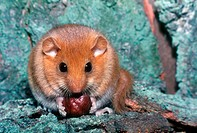 Dormouse Muscardinus avellanarius Eating Hazel Nut Bradfield S