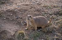 Prairie Dog Black_tailed Cynomys ludovicianus