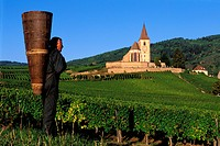 France, Haut Rhin, the Alsace wine road, Hunawihr Village, labelled Les Plus Beaux Villages de France The Most Beautiful Villages of France, Grape pic...