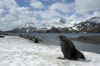 Antarctic Fur Seal Arctocephalus gazella adult, on beach in snow covered habitat, South Georgia