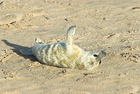 Grey Seal Halichoerus grypus newborn white coat pup on beach, Norfolk, England, november