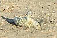 Grey Seal Halichoerus grypus newborn white coat pup on beach, Norfolk, England, november