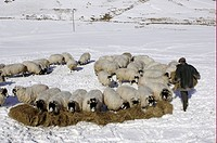 Domestic Sheep, Kendal Rough Fell ewes, being fed hay by shepherd, standing in snow, Cumbria, England, winter
