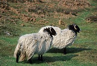 Swaledale Sheep _ Two standing on hillside _ Yorkshire, England