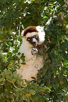 Verreaux´s Sifaka Propithecus verreauxi adult, feeding in tree, Berenty Game Reserve, Madagascar