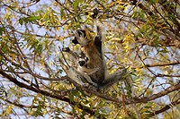 Verreaux´s Sifaka Propithecus verreauxi adult female with baby in tree, Berenty Game Reserve, Madagascar