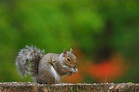 Eastern Grey Squirrel Sciurus carolinensis Adult feeding