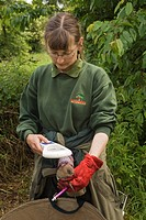 Water Vole Arvicola terrestris adult, Wildwood Trust Conservation Officer checking identification chip during reintroduction at site, Kent, England