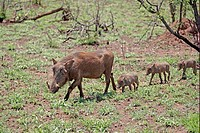 Warthog Phacochoerus aethiopicus adult female, with three young following behind, Kruger N P , South Africa