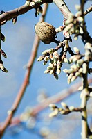Almond tree budding, close_up of branch