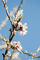 Almond tree in flower, close_up of branch