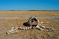 Common Zebra Equus quagga skeleton, remains of carcass, Nxai Pan N P , Botswana