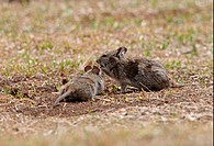 Abyssinian Grass Rat Arvicanthis abyssinicus adult with juvenile, feeding on sparse vegetation, Bale Mountains, Oromia, Ethiopia, april