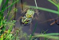 Pool Frog Rana lessonae pair mating in shallow pond, Poland, may