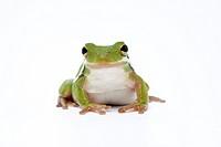 American Green Treefrog Hyla cinerea adult, captive