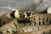 Grass Snake Natrix natrix adult, close_up of head, Skipwith Common, East Yorkshire, England
