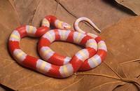 Nelson´s Milksnake Lampropeltis triangulum nelsoni Albino / juvenile / Mexico