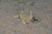 Horned Viper Cerastes cerastes North Africa S