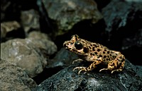 Mallorcan Midwife Toad Alytes muletensis adult, sitting on rock, Majorca, Balearic Islands, Spain