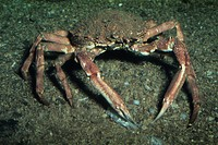 Spiny Spider Crab Maia squinado Feeling for food with pincers