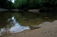 Mudskipper Periotthalmus sp Mangrove Forest, Koh Tarutao NP Thailand