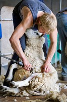 Young farmer shearing sheep for wool in barn