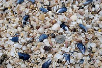 Mass of different empty seashells on beach, Mossyard Bay, Dumfries and Galloway, Scotland, spring