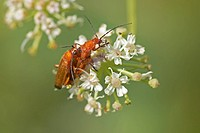 Soldier Beetle Rhagonycha fulva adult pair, mating, on wild parsley flower, England