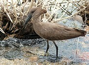 Hammerkop, Kruger National Park, Mpumalanga, South Africa
