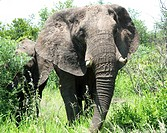 Elephant, Kruger National Park, Mpumalanga,South Africa