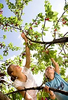 girl and boy picking cherries on tree