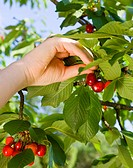 girl picking cherries from tree