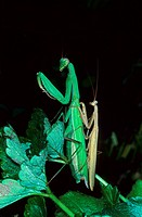Praying Mantis Mantis religiosa adult pair, mating Spain