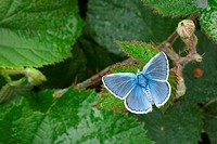 Common Blue Polyommatus icarus adult on bramble, Morecambe Bay, Cumbria, England