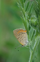 Small Copper Lycaena phlaeas ´American Copper´ adult _ Michigan, U S A _ May