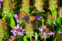 Small Copper Lycaena phlaeas adult, feeding on Selfheal Prunella vulgaris flower in garden, England, summer