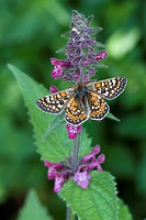 Marsh Fritillary Euphydryas aurinia adult, feeding on Hedge Woundwort Stachys sylvatica, England