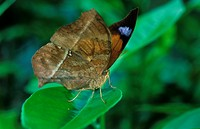 Leaf Butterfly Kallima sp On green leaves _ Madagascar