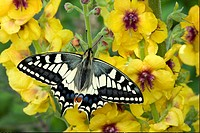Common Swallowtail Papilio machaon britannicus adult, feeding on flowers in garden, England