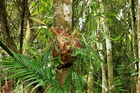 Staghorn Fern Platycerium sp growing as epiphyte on tree, Lamington N P , Queensland, Australia
