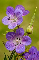 Meadow Cranesbill Geranium pratense close_up of flowers and developing seedhead, England