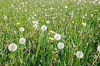 Common Dandelion Taraxacum officinalis seedheads and flowers, in field habitat, Derbyshire, England