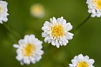 Feverfew Tanacetum parthenium close_up of flowers, Dorset, England