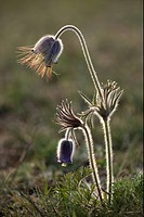 Small Pasqueflower Pulsatilla pratensis flowering, in grassland, evening light, Sweden, spring