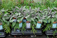 Trays of herbs, Thyme ´Creeping Red´ and Purple Sage, in commercial nursery, West Sussex, England