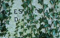 Ivy Hedera helix On gravestone _ Norfolk, England _ February