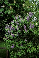 Common Lilac Syringa vulgaris In flower