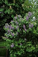 Common Lilac Syringa vulgaris In flower