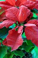 Poinsettia Euphorbia pulcherrima flowering, red bracts